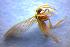 (Coniopterygidae - BC ZSM NEU 00023)  @13 [ ] CreativeCommons - Attribution Non-Commercial Share-Alike (2010) Stefan Schmidt ZSM (Zoologische Staatssammlung Muenchen)