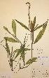 (Potamogeton lucens - H020331)  @11 [ ] Unspecified (default): All Rights Reserved  Unspecified Unspecified
