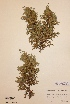(Juniperus communis subsp.  nana - H180946)  @11 [ ] Unspecified (default): All Rights Reserved  Unspecified Unspecified