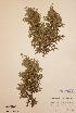 (Juniperus communis subsp.  nana - H180946)  @11 [ ] Unspecified (default): All Rights Reserved  Unspecified Unspecified