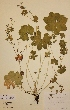 (Alchemilla subcrenata - H379035)  @11 [ ] Unspecified (default): All Rights Reserved  Unspecified Unspecified