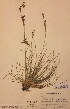 (Juncus squarrosus - H438033)  @11 [ ] Unspecified (default): All Rights Reserved  Unspecified Unspecified