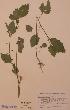 (Solanum americanum - H579607)  @11 [ ] Unspecified (default): All Rights Reserved  Unspecified Unspecified