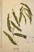 (Potamogeton praelongus - H606744)  @11 [ ] Unspecified (default): All Rights Reserved  Unspecified Unspecified