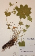 (Alchemilla acutiloba - H670660)  @11 [ ] Unspecified (default): All Rights Reserved  Unspecified Unspecified