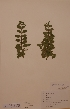 (Veronica officinalis - H724724)  @11 [ ] Unspecified (default): All Rights Reserved  Unspecified Unspecified
