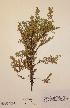 (Juniperus communis subsp. alpina - H732657)  @11 [ ] Unspecified (default): All Rights Reserved  Unspecified Unspecified