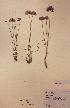 (Allium scorodoprasum - H737131)  @11 [ ] Unspecified (default): All Rights Reserved  Unspecified Unspecified