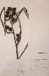 (Sparganium erectum ssp erectum - H739399)  @11 [ ] Unspecified (default): All Rights Reserved  Unspecified Unspecified