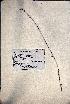 (Buchnera floridana - VP-29b)  @11 [ ] No Rights Reserved (2014) Unspecified Columbus State University, GA