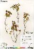 (Rhododendron tomentosum ssp decumbens - Saarela_1532_CAN)  @11 [ ] Copyright (2012) Canadian Museum of Nature Canadian Museum of Nature