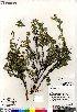 (Dasiphora - Saarela_1520_CAN)  @11 [ ] Copyright (2012) Canadian Museum of Nature Canadian Museum of Nature