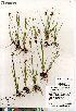 (Juncus castaneus ssp leucochlamys - Gillespie_9860_CAN)  @11 [ ] Copyright (2012) Canadian Museum of Nature Canadian Museum of Nature
