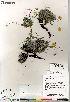 (Potentilla subgorodkovii - Gillespie_9849_CAN)  @11 [ ] Copyright (2012) Canadian Museum of Nature Canadian Museum of Nature
