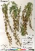 (Oxytropis sericea - Saarela_1558_CAN)  @11 [ ] Copyright (2012) Canadian Museum of Nature Canadian Museum of Nature