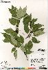 (Populus balsamifera - Saarela_1524_CAN)  @11 [ ] Copyright (2012) Canadian Museum of Nature Canadian Museum of Nature