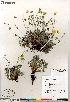 (Potentilla sect. Niveae hybrid (nivea arenosa subvahliana - Gillespie_10067_CAN)  @11 [ ] Copyright (2012) Canadian Museum of Nature Canadian Museum of Nature