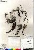 (Artemisia borealis ssp richardsoniana - Saarela_1442_CAN)  @13 [ ] Copyright (2012) Canadian Museum of Nature Canadian Museum of Nature