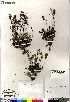 (Artemisia borealis ssp borealis - Saarela_1507_CAN)  @13 [ ] Copyright (2012) Canadian Museum of Nature Canadian Museum of Nature