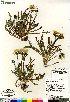 (Taraxacum - Saarela_1467_CAN)  @11 [ ] Copyright (2012) Canadian Museum of Nature Canadian Museum of Nature