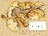 (Phyllotopsis - H6034358)  @11 [ ] Copyright (2014) Diana Weckman Botanical Museum, Finnish Museum of Natural History, University of Helsinki