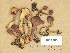 (Tricholoma hemisulphureum - H6045650)  @11 [ ] Copyright (2014) Diana Weckman Botanical Museum, Finnish Museum of Natural History, University of Helsinki