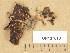 (Gyromitra perlata - TUR137013)  @11 [ ] Copyright (2013) Diana Weckman Botanical Museum, Finnish Museum of Natural History, University of Helsinki