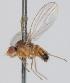 (Microdrosophila - KWi-235)  @11 [ ] CreativeCommons - Attribution Non-Commercial (2012) Marko Mutanen University of Oulu