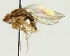 (Drosophila busckii - MZH_HP.574)  @12 [ ] CreativeCommons - Attribution Non-Commercial (2012) Marko Mutanen University of Oulu
