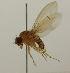 (Drosophila histrio - MZH_HP.1092)  @13 [ ] CreativeCommons - Attribution Non-Commercial No Derivatives (2013) Hanna Koivula Finnish Museum of Natural History