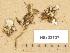 (Peltigera didactyla - H9203737)  @11 [ ] Copyright (2012) Diana Weckman Botanical Museum, Finnish Museum of Natural History, University of Helsinki