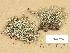 (Cladonia gracilis subsp turbinata - H9203754)  @11 [ ] Copyright (2012) Diana Weckman Botanical Museum, Finnish Museum of Natural History, University of Helsinki
