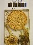 (Lepiota magnispora - H6042373)  @11 [ ] CreativeCommons - Attribution Non-Commercial Share-Alike (2013) Balint Dima Botanical Museum, Finnish Museum of Natural History, University of Helsinki