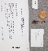 (Inocybe armeniaca - TUR170948)  @11 [ ] CreativeCommons - Attribution Non-Commercial (2012) Anna L. Ruotsalainen University of Oulu