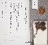 (Inocybe acuta - TUR176517)  @11 [ ] CreativeCommons - Attribution Non-Commercial (2012) Anna L. Ruotsalainen University of Oulu
