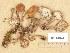 (Lactarius camphoratus - H6001824)  @11 [ ] Copyright (2013) Diana Weckman Botanical Museum, Finnish Museum of Natural History, University of Helsinki