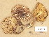 (Tricholoma frondosae - H6002610)  @11 [ ] Copyright (2013) Diana Weckman Botanical Museum, Finnish Museum of Natural History, University of Helsinki