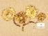 (Pholiota lundbergi - H6008330)  @11 [ ] Copyright (2014) Diana Weckman Botanical Museum, Finnish Museum of Natural History, University of Helsinki
