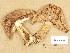 (Tricholoma batschii - H6009553)  @11 [ ] Copyright (2013) Diana Weckman Botanical Museum, Finnish Museum of Natural History, University of Helsinki