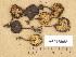 (Myxomphalia - H6018088)  @11 [ ] Copyright (2013) Diana Weckman Botanical Museum, Finnish Museum of Natural History, University of Helsinki
