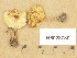 (Lepiota cristata - H6028730)  @11 [ ] Copyright (2013) Diana Weckman Botanical Museum, Finnish Museum of Natural History, University of Helsinki