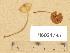 (Conocybe microspora - H6034785)  @11 [ ] Copyright (2013) Diana Weckman Botanical Museum, Finnish Museum of Natural History, University of Helsinki