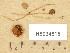 (Conocybe aff. rostellata - H6034815)  @11 [ ] Copyright (2013) Diana Weckman Botanical Museum, Finnish Museum of Natural History, University of Helsinki