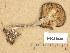 (Pseudoclitocybe - H6034938)  @11 [ ] Copyright (2013) Diana Weckman Botanical Museum, Finnish Museum of Natural History, University of Helsinki