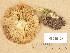 (Tricholoma inamoenum - H6035128)  @11 [ ] Copyright (2013) Diana Weckman Botanical Museum, Finnish Museum of Natural History, University of Helsinki