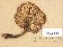 (Tricholoma fucatum - H6035134)  @11 [ ] Copyright (2013) Diana Weckman Botanical Museum, Finnish Museum of Natural History, University of Helsinki