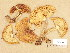 (Tricholoma aurantium - H6035166)  @11 [ ] Copyright (2013) Diana Weckman Botanical Museum, Finnish Museum of Natural History, University of Helsinki