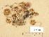 (Hebeloma nigellum - H6035501)  @11 [ ] Copyright (2013) Diana Weckman Botanical Museum, Finnish Museum of Natural History, University of Helsinki