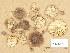 (Tricholoma gausapatum - H6039174)  @11 [ ] Copyright (2013) Diana Weckman Botanical Museum, Finnish Museum of Natural History, University of Helsinki