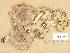 (Tricholoma cingulatum - H6039175)  @11 [ ] Copyright (2013) Diana Weckman Botanical Museum, Finnish Museum of Natural History, University of Helsinki